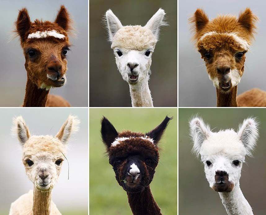 A combination of six pictures shows freshly shorn alpacas in the village of Winklarn...A combination of six pictures shows freshly shorn alpacas in the village of Winklarn near Regensburg, April 22, 2013. The alpacas are always shorn in spring, to make th